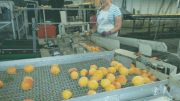 Conveyor belts cooling fruit